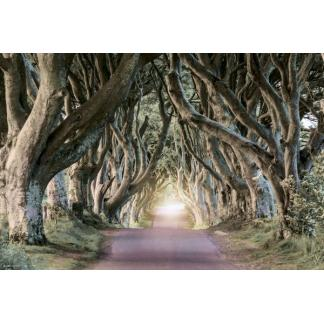 Dark Hedges - Maxi Poster