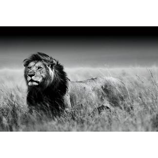 Glas schilderij Leeuw in savanne