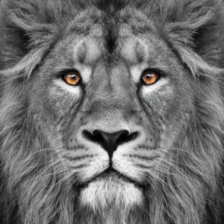 Glas schilderij Portret leeuw
