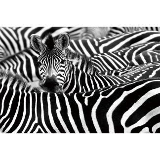 Glas schilderij Zebra