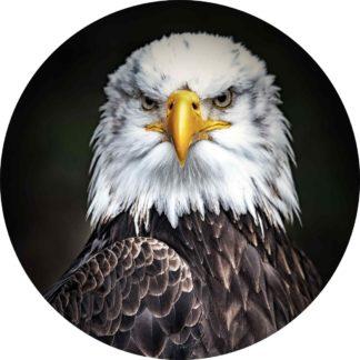 Glasschilderij Bald Eagle - Amerikaanse zeearend