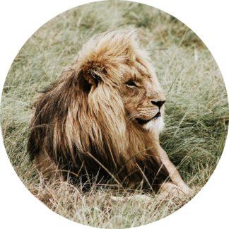 Glasschilderij Leeuw