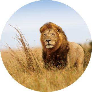 Glasschilderij leeuw in savanne