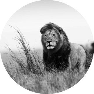 Glasschilderij Leeuw in Savanne - zwart-wit, rond 100 cm