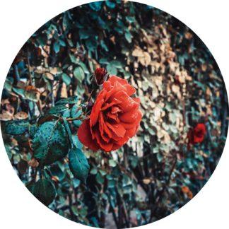 Glasschilderij Roos