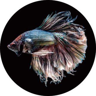 Glasschilderij Siamese Kempvis - Rond 100cm