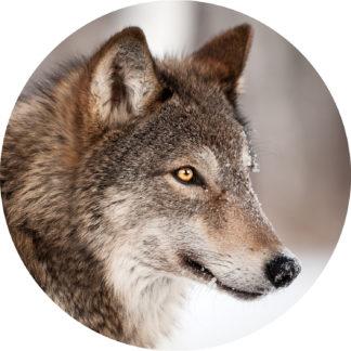 Glasschilderij Wolf portret